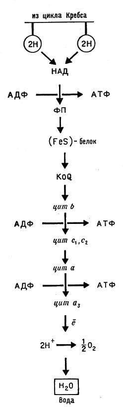 Схема дыхательной